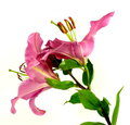 Pink lily a to white reason in lateral view Royalty Free Stock Photo