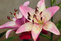 Pink lilys Royalty Free Stock Photo