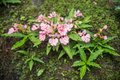 The pink lipped habenaria pink snap dragon flower found in tro tropical rainforests at man dang waterfall phu hin rong kra Stock Photo