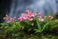 The pink lipped habenaria pink snap dragon flower found in tro tropical rainforests at man dang waterfall phu hin rong kra Stock Photos