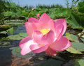 Pink lotus Stock Photography