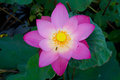 Pink lotus and bee Royalty Free Stock Photo