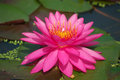 Pink lotus blooming flower in garden Stock Images