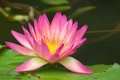 Pink lotus blooming in garden Stock Images