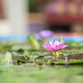 Pink lotus blooming in the pond Royalty Free Stock Photography