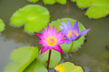 Pink lotus blooming in the tropical garden Royalty Free Stock Photos