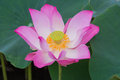 Pink Lotus blooming on water. Royalty Free Stock Photo