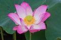 Pink Lotus blooming on water. Royalty Free Stock Photo
