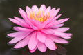 Pink lotus blossoms Royalty Free Stock Photo