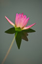 Pink lotus blossoms in the pond closeup Royalty Free Stock Photos