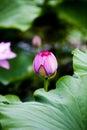 Pink lotus bud Royalty Free Stock Photo