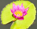 Pink lotus closeup on green background Royalty Free Stock Images