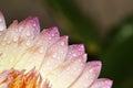 Pink lotus flowe Royalty Free Stock Photo
