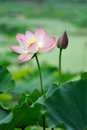 Pink Lotus flower Stock Image