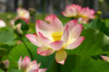 Pink Lotus Flower Stock Photos