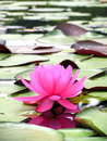 Pink lotus flower aquatic bean Royalty Free Stock Images