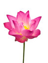 Pink lotus flower beautiful single isolated on white background Royalty Free Stock Photography