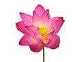Pink lotus flower beautiful single isolated on white background Royalty Free Stock Photos