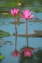 Pink lotus flower blooming in garden Stock Photos