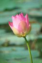 Pink lotus flower blooming in garden Stock Photo
