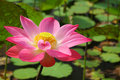 Pink lotus flower blooming in a pond Stock Photos