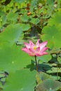 Pink lotus flower blooming in a pond Stock Photography