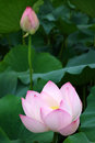 Pink lotus flower with bud green leaves Stock Photo