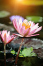 Pink lotus flower closeup of Stock Photos