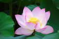 Pink lotus flower closeup of a flowers Stock Photo