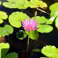Pink Lotus Flower and Coins on Lotus Leaves in Lotus Pond Royalty Free Stock Photo