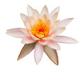 Pink lotus flower isolated on white background Royalty Free Stock Images