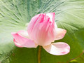 Pink lotus flower with leaves in the background Royalty Free Stock Photography