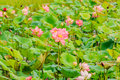Pink Lotus flower and Lotus flower plants. Royalty Free Stock Photo
