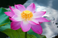 Pink lotus flower macro opened blossom of a beautiful Royalty Free Stock Images