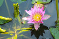 Pink lotus flower in the nature Royalty Free Stock Photography