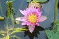 Pink lotus flower in the nature Stock Photo