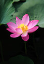 Pink lotus flower it is taken in the park this is the summer season for Royalty Free Stock Photo