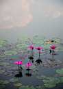 Pink lotus flower in the water thailand Stock Photo