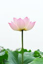 Pink lotus flower on the white background with green leaf Royalty Free Stock Photo