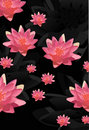 Pink lotus flowers background Royalty Free Stock Images