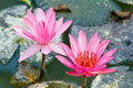 Pink lotus flowers in bloom Royalty Free Stock Image