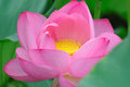 Pink lotus flowers with green leaves Stock Photography