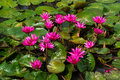 Pink lotus flowers and lily pads on pond or lake Stock Images