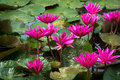 Pink lotus flowers and lily pads on pond or lake Royalty Free Stock Images