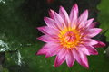 Pink lotus in garden Stock Images
