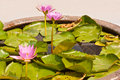 Pink lotus in the garden Royalty Free Stock Image