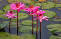 Pink Lotus in a lake Stock Photos