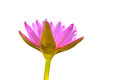 Pink lotus lovely with white background Stock Image