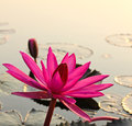 Pink lotus in the morning light Stock Photo