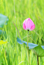 Pink lotus in nature beautiful Stock Photography